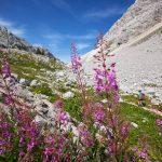 Gore: občudujmo planinsko cvetje in ohranimo čisto naravo